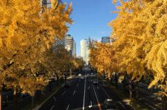 桜通の銀杏の黄葉.2