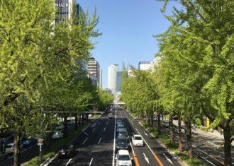 桜通のイチョウ 新芽が出て成長する