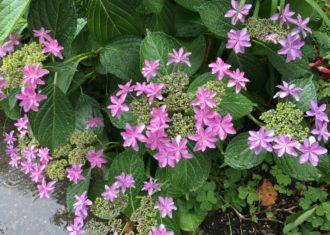 いま紫陽花が美しい 丸の内の歩道にて