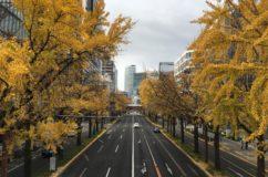 再び 地元桜通の銀杏 一気に黄葉・落葉がすすむ