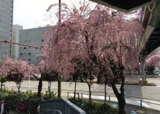 丸の内交差点のしだれ桜が満開 イチョウの芽が・・・