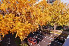 桜通のいよいよ黄葉 真っ盛り