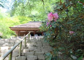 室生寺のシャクナゲ