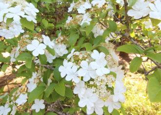 唐招提寺の瓊花(けいか)の花